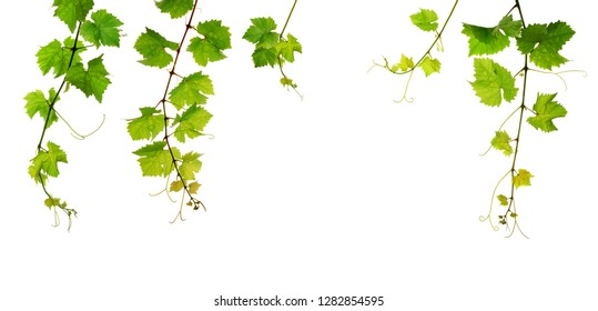 Fresh green grapevine, five single branches, isolated on white background