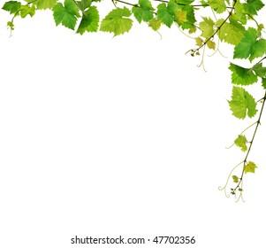 Fresh green grapevine frame