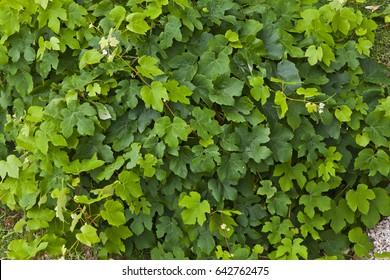 Fresh green grapevine in a vineyard
