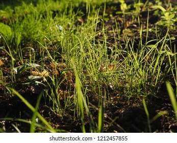 Fresh green grass background closeup in sunlight at summer. Landscape summer background, bottom view.