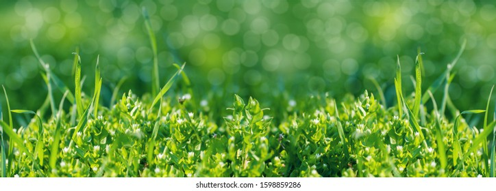 fresh green grass background, close-up, spring meadow
