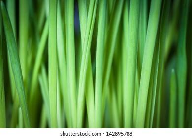 Fresh green grass, background with vignette.