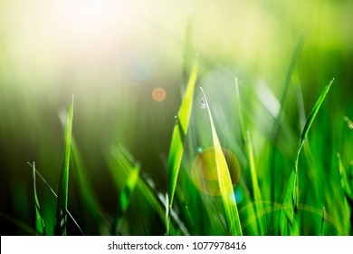 Fresh Green Grass in the Bright Summer Light. Freshness and Nature Concept.
