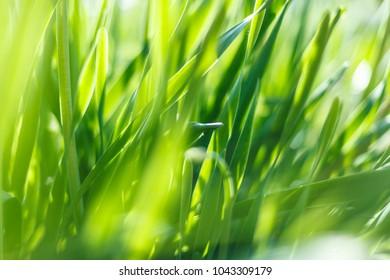 Fresh green grass closeup. Soft Focus. Nature Background