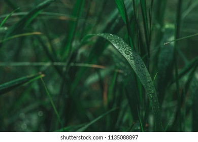 Fresh green grass with dew drops close up. Water driops on the fresh grass after rain. Light morning dew on the grass