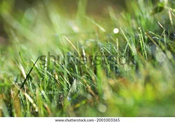 fresh-green-grass-dew-drops-600w-2001003