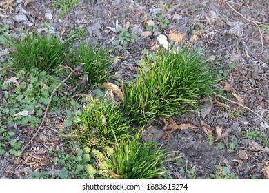 Fresh green grass, early spring