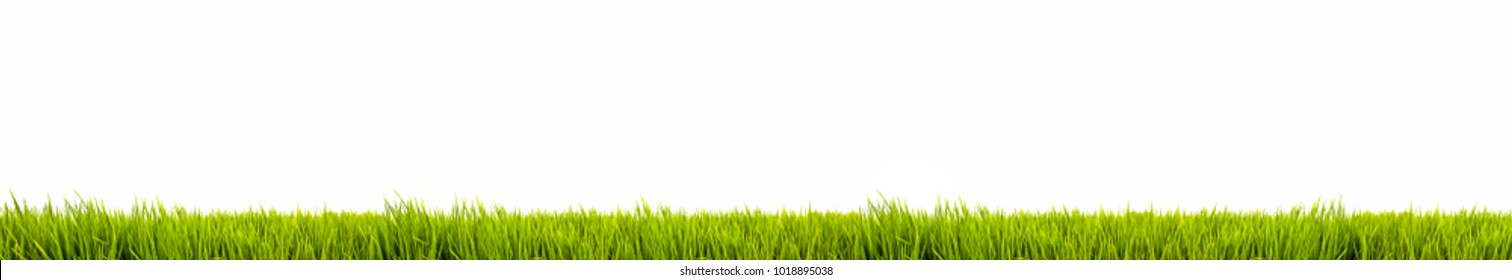 Fresh green grass as frame border on the lower side of the horizontal wide frame in a seamless empty white background as large panorama format. Useful as design element and template.