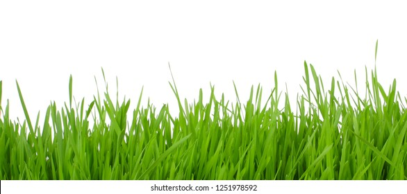 fresh green grass isolated on white background banner
