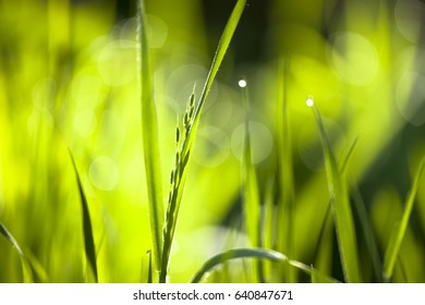 Fresh green grass in morning sun light