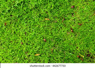 Fresh green grass on a field, overhead shot, natural texture for your design background