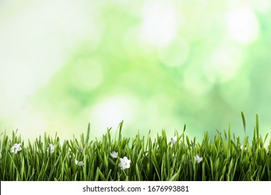 Fresh green grass and white flowers on blurred background, space for text. Spring season