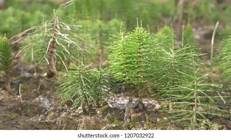 fresh green grove of Horsetails herbal stems moving with the wind, blur photo