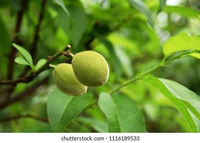 "Fresh green hana peach fruits - Prunus persica. It is called ""Hana Momo"" in Japan."