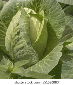 Fresh green head of cabbage with leaves growing in garden