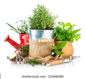 Fresh green herbs with garden tools. Gardening concept with watering can isolated on white background. Kitchen Garden flowers and Herbs in pots.