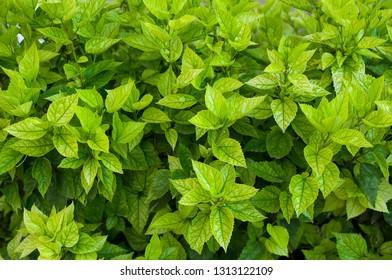 Karkade Leaves Images Stock Photos Vectors Shutterstock