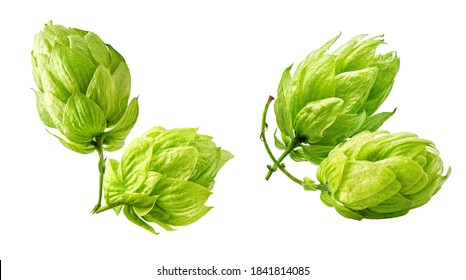 Fresh green hop cones set isolated on white background. Brewery, bakery design elements composition, focus stacking, full depth of field. Ripe hops for beer production, bread making, brewing concept