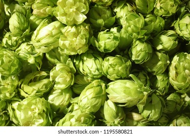 Fresh green hops as background. Beer production
