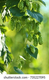 Fresh green hops background. cones of hops on a green vegetal blurred background. Harvest of hops