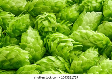 Fresh green hops  cones  for making beer and bread close up