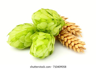 Fresh green hops, ears of barley and wheat grain.Isolated closeup on white background.