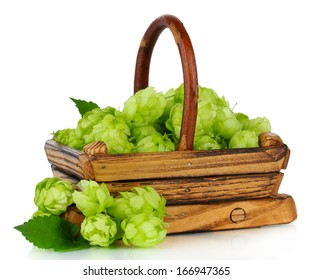Fresh green hops in wooden basket, isolated on white