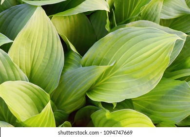 Fresh green hosta leaves, Hosta plantaginea