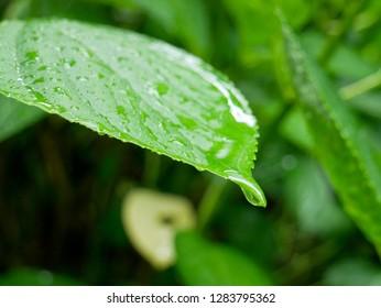 Fresh green hydrangea leaf under summer rain