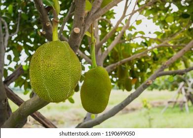 fresh green Jackfruit ( Artocarpus heterophyllus ) hanging on brunch tree in the garden.Jackfruit growing on the tree. Jackfruit is Delicious sweet fruit.Fruits concept.
