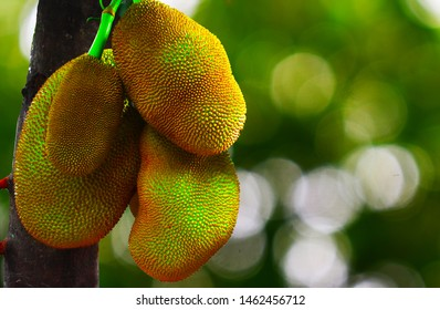 Fresh green Jackfruit ( Artocarpus heterophyllus ) hanging on brunch tree in the garden.Jackfruit growing on the tree. Jackfruit is Delicious sweet fruit.Fruits concept