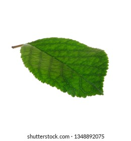 fresh green leaf of ashberry isolated on white background