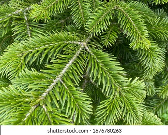 Fresh green leaf background. Balsam fir , Blister pine tree or American silver fir,