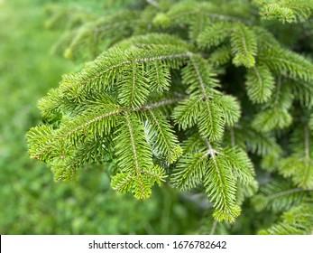 Fresh green leaf background. Balsam fir , Blister pine tree.  Firs, American silver fir, Balm of gilead , Eastern, Canadian, Abies balsamea