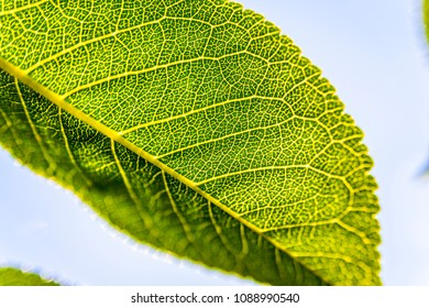 Fresh green leaf close-up isolated on the sky background