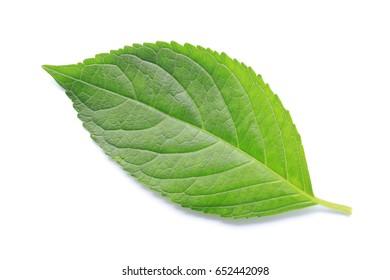fresh green leaf isolated
