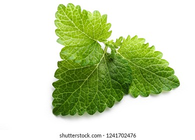 Fresh green leaf mint close-up isolated on a white background. Melissa officinalis (lemon balm).