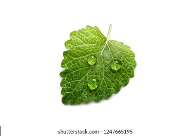 Fresh green leaf mint with water drops close-up isolated on a white background. Melissa officinalis (lemon balm).