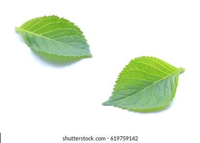 fresh green leaf on white