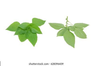 Fresh green leaf on a white background (Clipping path)