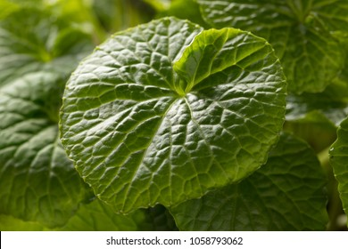 Fresh green leaf of a wasabi plant close up