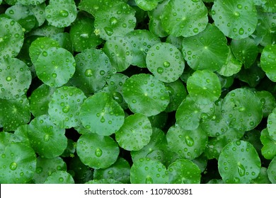 fresh green leaf with water drops. Rain drops on leaf. Leaf on raining day. Gotu kola. Centella Asiatica. leaf with rain drops background.