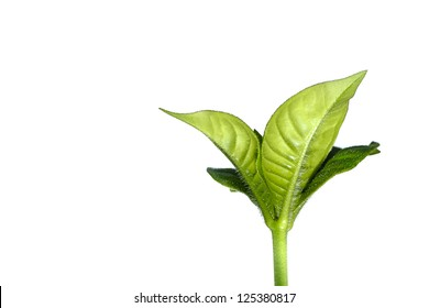 Fresh green leafs growing to show concept of ecology. Isolated on white.