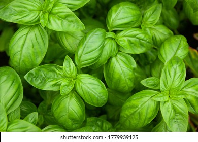 Fresh Green Leaves of Aromatic Great Basil Herb Ocimum basilicum Growing in a Greenhouse - Shutterstock ID 1779939125