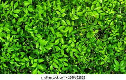 Fresh green leaves background, hedge green plant, natural texture, tiny green leaves in the garden.