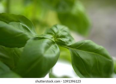 fresh green leaves of basil from the garden