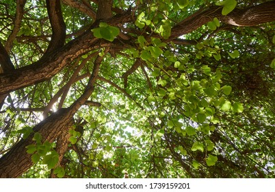 Fresh green leaves and branches of tropical tree