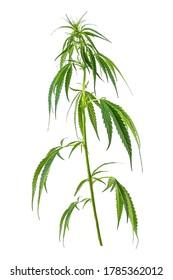 Feuilles vertes fraîches de cannabis ou de marijuana