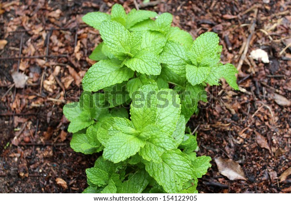 Fresh green leaves of  common garden mint mentha species best grown in pots or tubs  are used in many herbal remedies and teas  as well as flavouring many  culinary dishes.