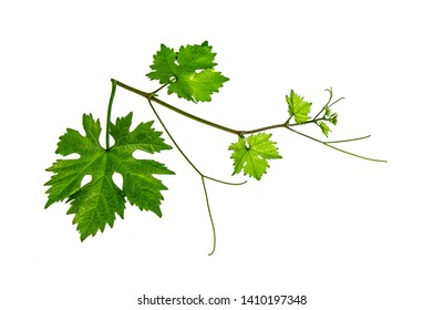 Fresh green leaves of a grape plant on a white background